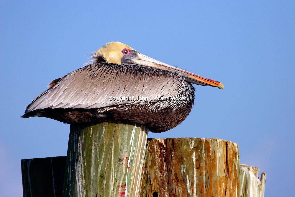 Brown Pelican sitting on piling