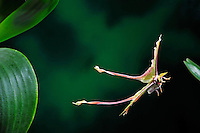 Chinese Moon Moth or Chinese Luna Moth in flight (Actias dubernardi), China. Is a moth of the Family Saturniidae.<br /> Insects in flight, high speed photographic technique, flying, wings, motion, insect Image by Andres Morya
