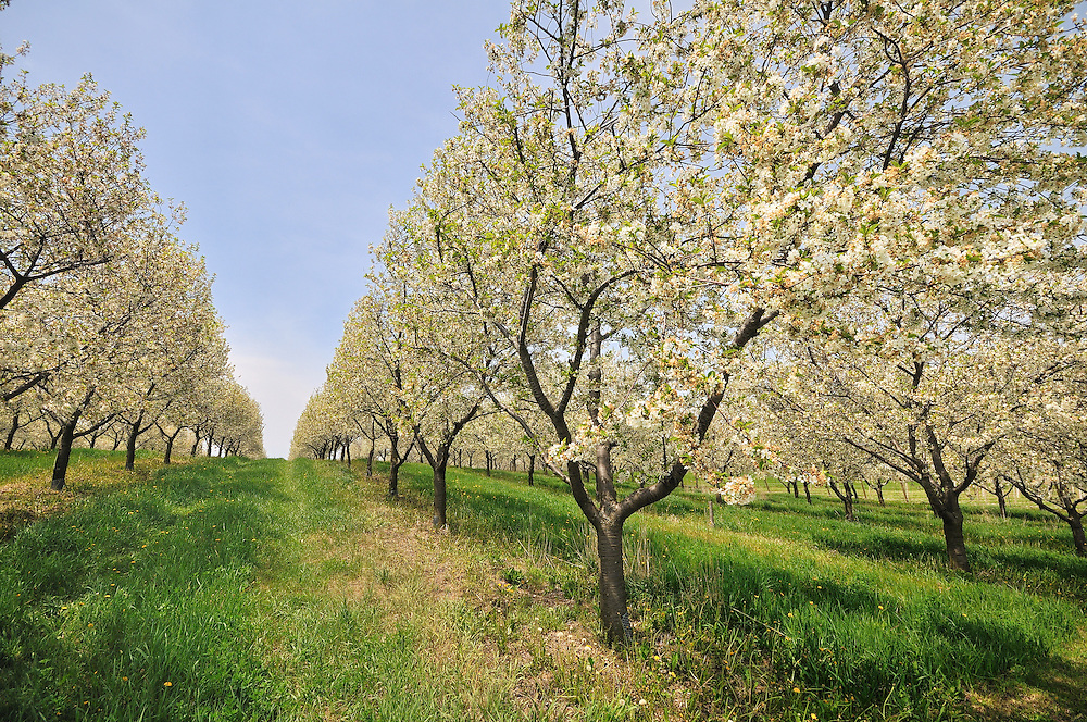 Blossoming cherry trees in May<br />