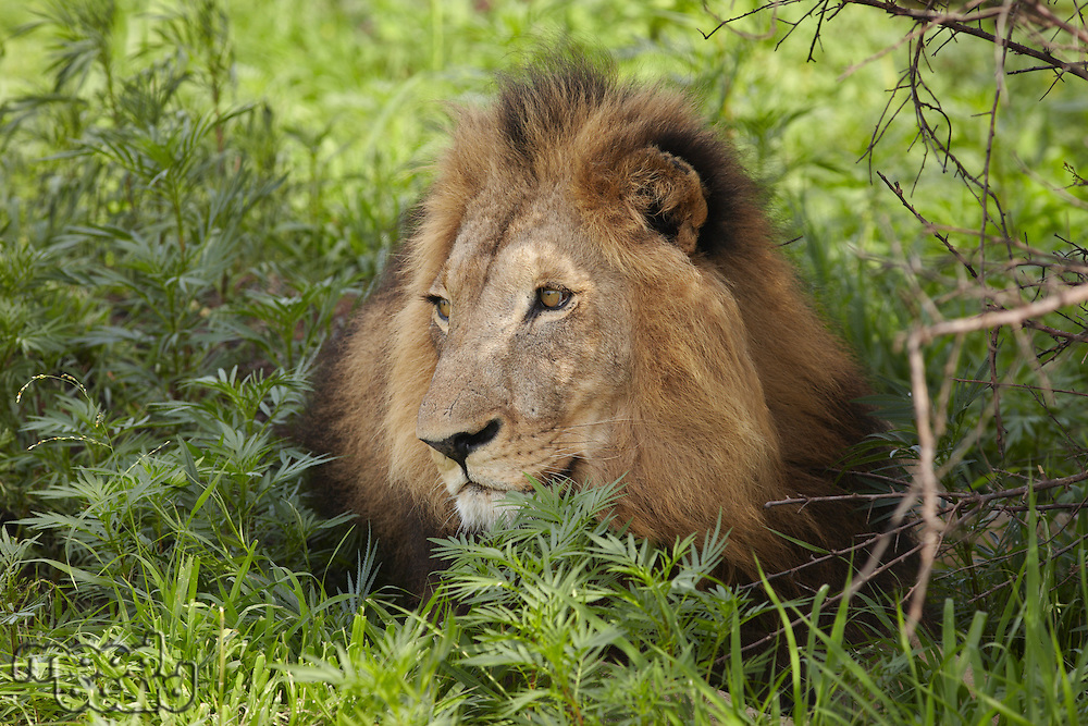 Lion lying in shade of tree