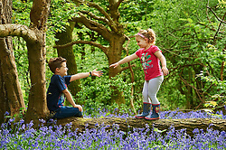 © Licensed to London News Pictures. 04/05/2015London, UK. Tom Stamp, 7 helps sister Elsa Stamp, 5 across a log amongst the bluebells at Bentley Priory Nature Reserve, Stanmore, north west London in the May Day Spring Bank Holiday sunshine. Photo credit : Simon Jacobs/LNP