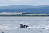 Bottle-nosed Dolphins fishing,<br /> Tursiops truncatus,<br /> Moray Firth, Nr Inverness, Scotland - July