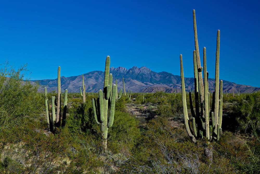 A group of Saguaro Cactus stand in a forest of same on the west side of Four Peaks north of Phoenix, Arizona.