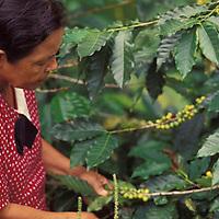 Mujer recogiendo café en plantación, Altamira de Cáceres, Barinas, Venezuela.