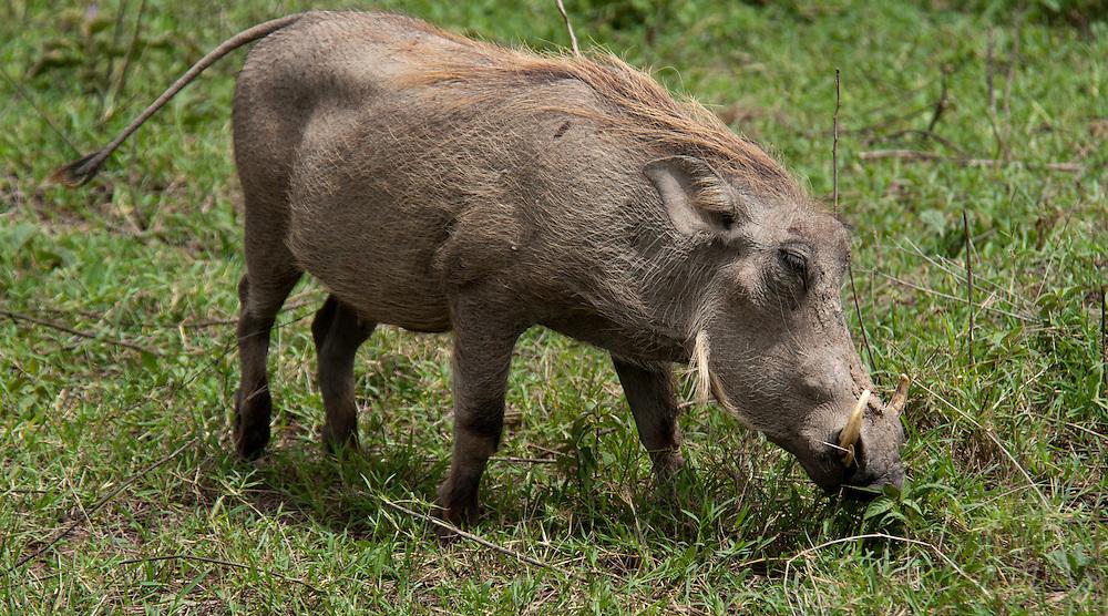The Warthog - Ngiri (Pumba)