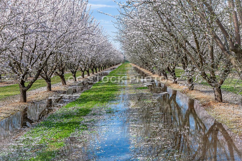 Almond Blossom Trail in Fresno California