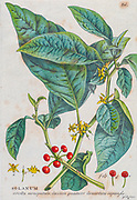 Tomato (Solanum) Engraving, hand-colored print of plants and butterflies from Plantae et papiliones rariores (rare plants and butterflies) by Ehret, Georg Dionysius, 1708-1770 Published in London in 1748