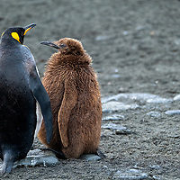 An adult king penguin with its chick in a massive breeding colony at Gold Harbour on South Georgia Island.