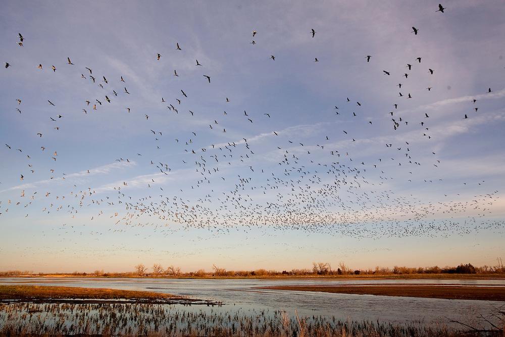 Sandhill Cranes Platte River..