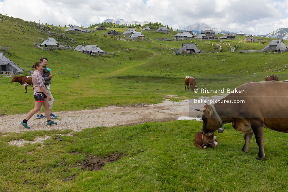 Young parents pass a grazing cow still nursing her calf near the collection of Slovenian herders' mountain huts in Velika Planina, on 26th June 2018, in Velika Planina, near Kamnik, Slovenia. Velika Planina is a mountain plateau in the Kamnik–Savinja Alps - a 5.8 square kilometres area 1,500 metres (4,900 feet) above sea level. Otherwise known as The Big Pasture Plateau, Velika Planina is a winter skiing destination and hiking route in summer. The herders' huts became popular in the early 1930s as holiday cabins (known as bajtarstvo) but these were were destroyed by the Germans during WW2 and rebuilt right afterwards by Vlasto Kopac in the summer of 1945.