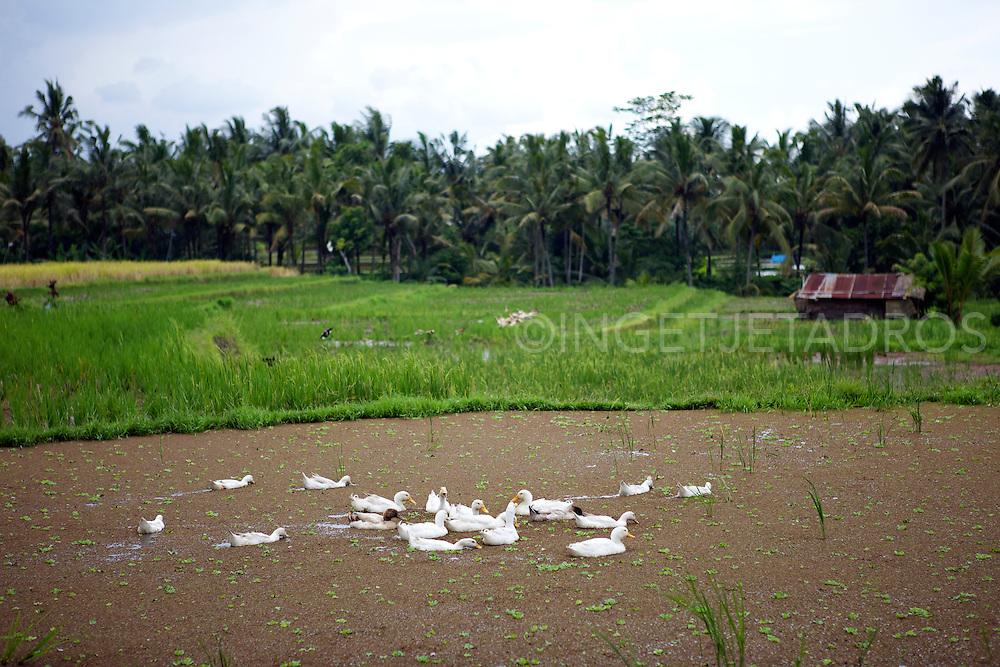 Rice terracces around Ubud. &copy;Ingetje Tadros<br /> www.ingetjetadros.com