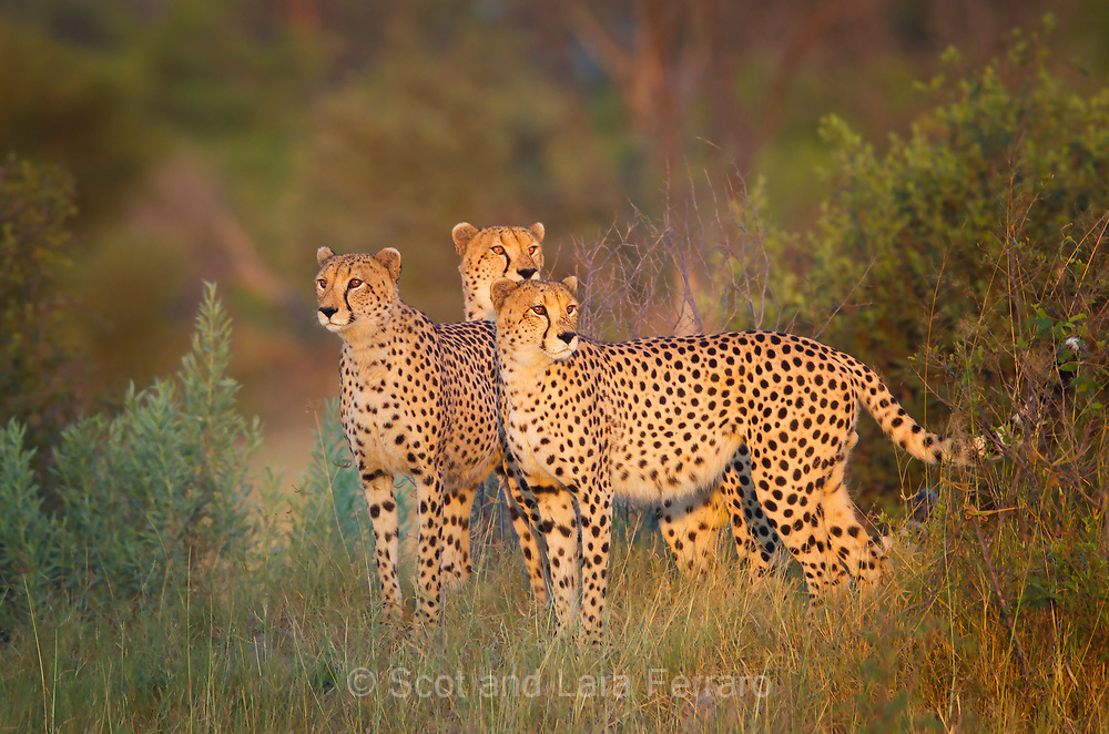 Cheetah (Acinonyx jubatus) brothers at Kwando Camp, Botswana.  While the cheetahs napped in the afternoon we waited nearby hoping to catch them in an evening hunt.  When they awoke they did not hunt but instead wandered the territory and kept sniffing the air until dark.  The next morning they were separated and we watched them call looking for each other.  We saw two meet up again.  The guides thought a female may have come into the area and they may have separated to mate.