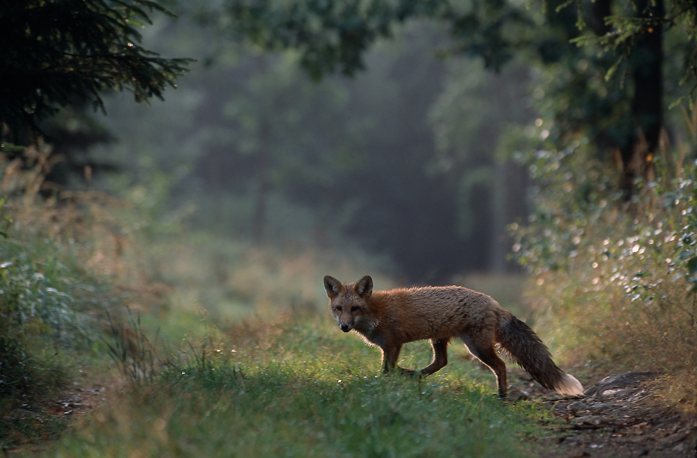Young red fox crossing forest track