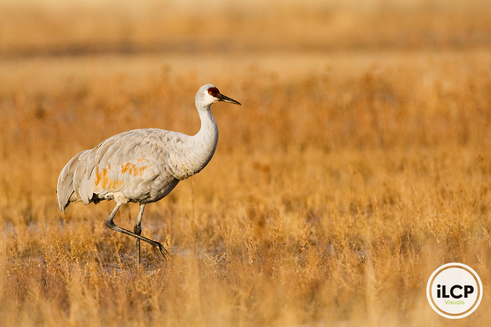 Sandhill Crane (Grus canadensis) wading, Bosque del Apache National Wildlife Refuge, New Mexico
