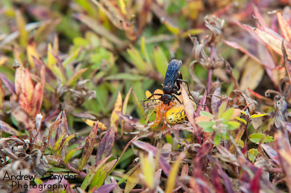 A pepsis wasp carrying off a female marbled orb weaver (Araneus marmoreus) - Oxford, Mississippi