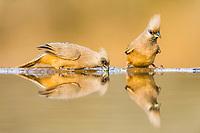 Speckled Mousebirds drinking, Zimanga Game Reserve, KwaZulu Natal, South Africa