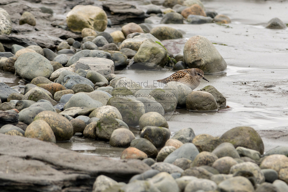 A least sandpiper feeds along the beach at the McNeil River State Game Sanctuary on the Cook Inlet, Alaska. The remote site is accessed only with a special permit and is the world's largest seasonal population of brown bears in their natural environment.
