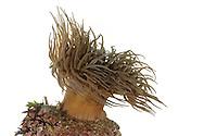 Snakelocks Anemone - Anemonia sulcata