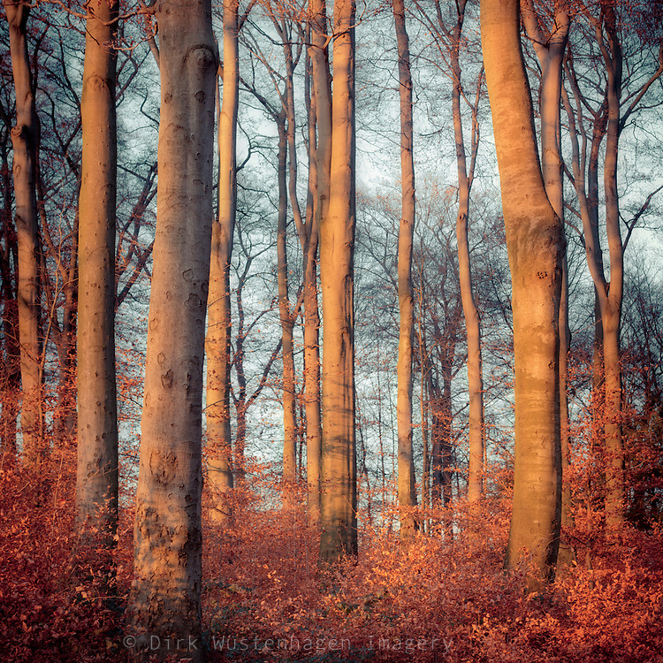 Beech tree in autumnal afternoon light.<br />