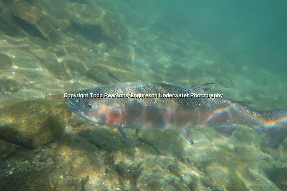 Steelhead<br /> <br /> Todd Pearsons/Engbreson Underwater Photography