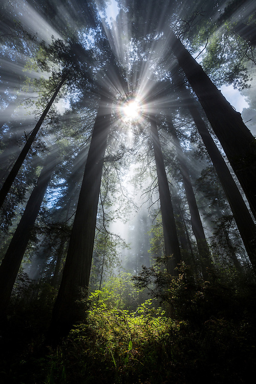 Sunbeams in the forest, Del Norte Coastal Redwoods State Park, USA.