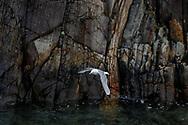 Black-legged kittiwake in flight, Norway coast, © 2015 David A. Ponton