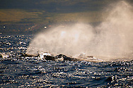 Humpback Whale, Megaptera novaeangliae, Hawaii, whales, Breach, corals reef, coral reefs