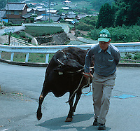 photo©Tom Wagner<br />Ichiro Tochigi, 70 years old, walks one of his six Matsuzaka beef cows to the stable in front of his home, in Mie prefecture, near Matsuzaka, Japan.