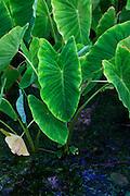 Taro, Maui, Hawaii