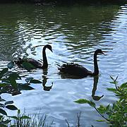 Black Swans - Regents Park - London, UK