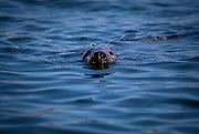 Curious rey seal, at Great Saltee, the Saltee Islands, off the coast of Co. Wexford, Ireland.