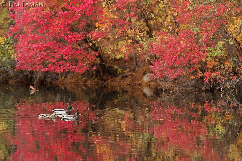 Mallards swimming on Walden Pond.