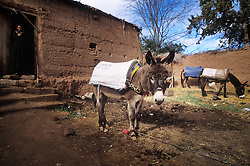 Donkeys at Ourika, Morocco.