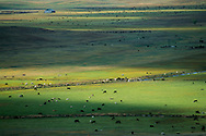 Nebraska Sandhills.  Shards of sunlight cleave a vast sandhills pasture dotted with cattle on an early September afternoon. Cattle have been an integral part of the sandhills landscape since the late 19th century. Sandhill ranchers have been fine stewards of the land, and the largely unpopulated region has been left virtually intact as a mixed-grass prairie ecosystem.