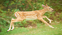 Blue Eyed Fawn Running. Backyard Nature in New Jersey. Image taken with a Nikon D3x and 600 mm f/4 lens (ISO 400, 600 mm, f/4, 1/250 sec). Image processed with Capture One 6 Pro, Nik Define 2, and Photoshop CS5.