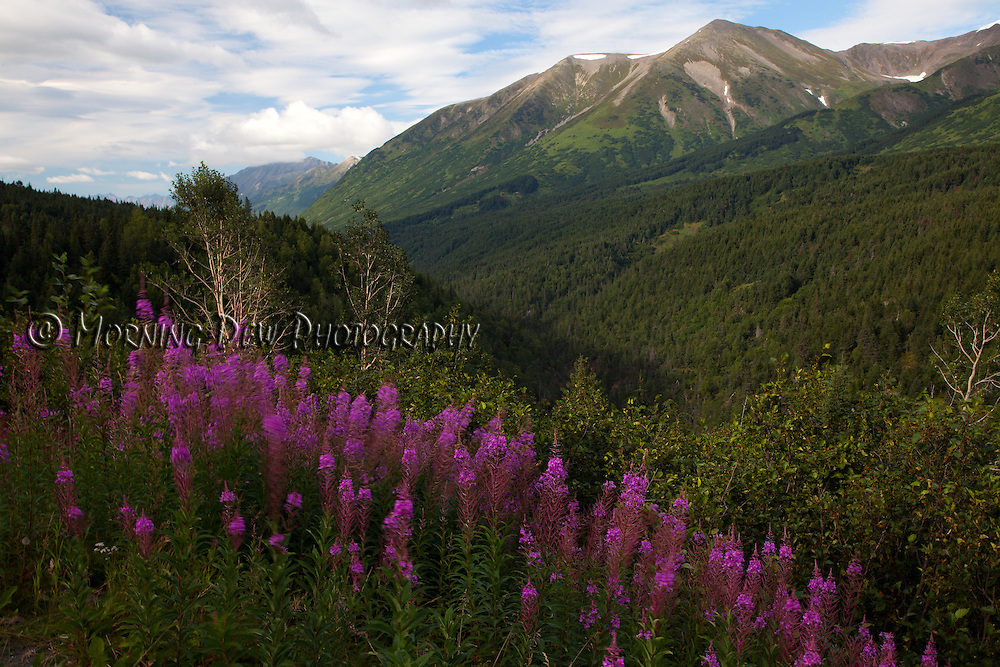 Fireweed grows along a hillside on the Kenai Peninsula, Alaska