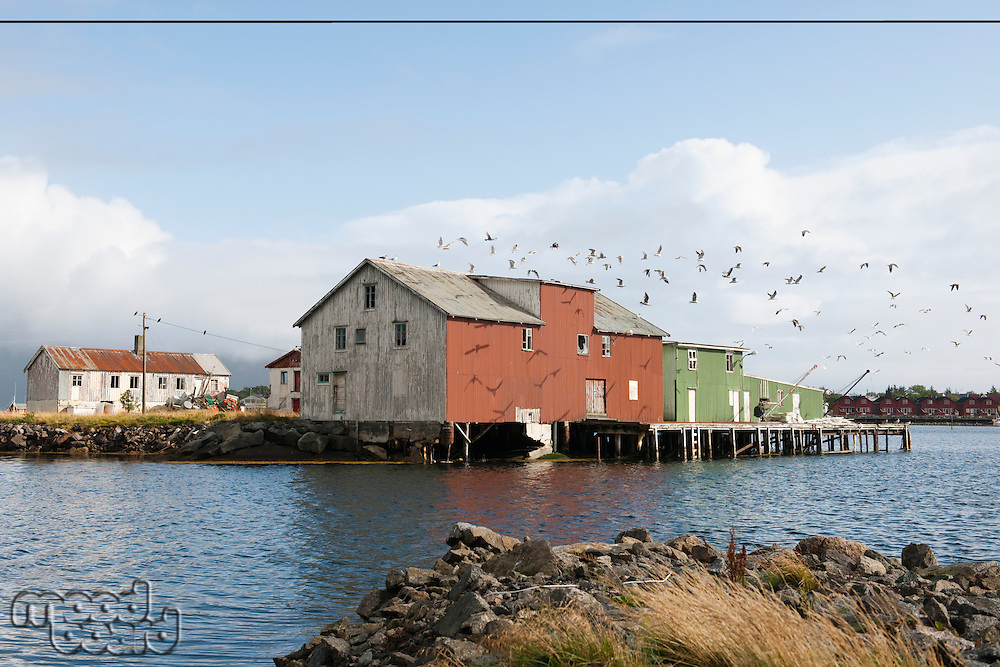Flock of birds and boathouse on the Lofoten Islands Norway