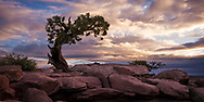 Lonely Tree Sunrise at Dead Horse Point State Park, UT, USA