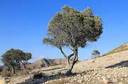 Olive trees in semi desert area near Rodalquilar, Cabo de Gata natural park, Almeria, Spain