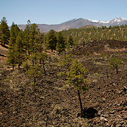 Trees grow from blackened earth at Sunset Crater Volcano National Monument, AZ