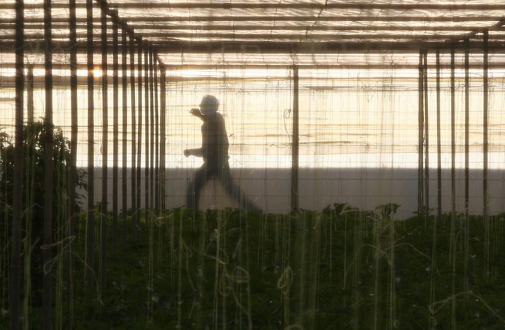 """EUROPE - SPAIN - EL EJIDO ; Illegal Immigration - VEGETABLE & FRUIT Production in Andalusia ; EL PLASTICO ; Exploitation of African workers;.The fruits and vegetables grown in the area are worth about $1.8 billion a year. Most of the workers are Moroccans, often called """"Moros"""" in reference to the Moors who ruled southern Spain for 700 years; Europa - SPANIEN - Landwirtschaft.Die Region um El Ejido, Provinz Almeria in Andalusien, gilt als Europas  größter agrarindustriell genutzter """"Wintergarten"""". Unter ca. 36.000 Hektar Plastik (Treibhäusern) wird ganzjährig Obst und Gemüse angebaut, welches zum Großteil in Supermärkten in Nordeuropa, Deutschland und England verkauft wird... Unter den Plastikplanen werden ca. 60.000, meist illegale Einwanderer aus Marokko, Schwarzafrika, Osteuropa beschäftigt. Arbeitsschutz und Mindestlöhne werden nicht eingehalten. .HIER: im Gewächshaus, Anbau von Zucchini für den Export, z.B. nach Deutschland; Arbeiter hinter Plastik....23.03.2007.Copyright: Christian Jungeblodt"""