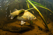 White Perch, Underwater