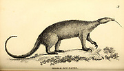 Middle Ant-Eater from General zoology, or, Systematic natural history Part I, by Shaw, George, 1751-1813; Stephens, James Francis, 1792-1853; Heath, Charles, 1785-1848, engraver; Griffith, Mrs., engraver; Chappelow. Copperplate Printed in London in 1800. Probably the artists never saw a live specimen