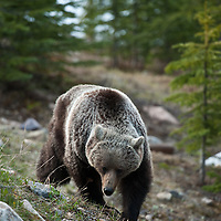 grizzly bear with cubs feeding