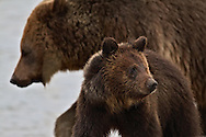 Grizzly Bears, Blaze and her cub Hobo at Marys Bay in Yellowstone National Park