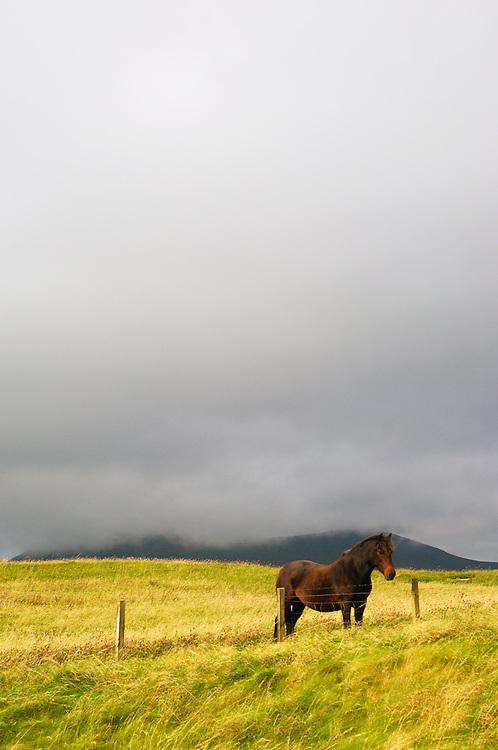 Solitary Eriskay pony in field near Scarista beach (vertical)