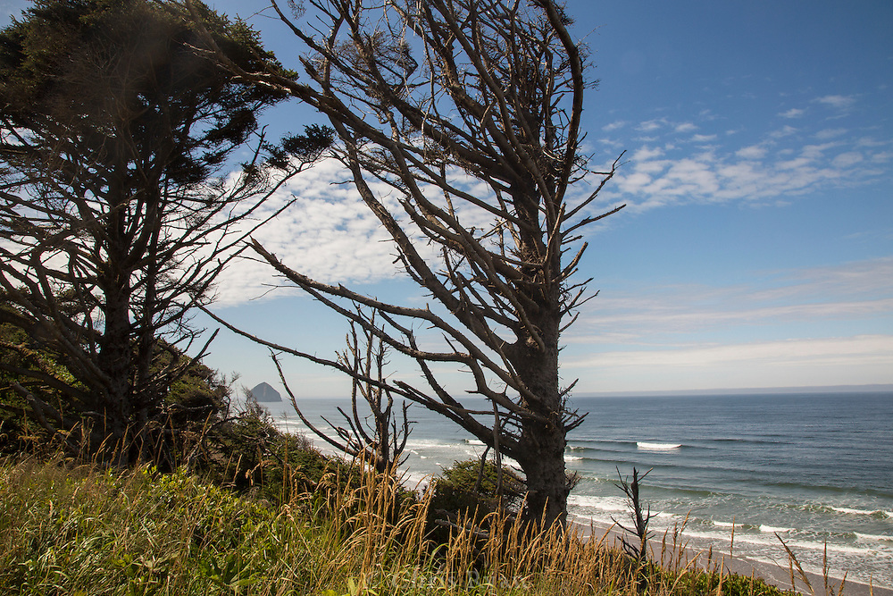 Coastal cypress and Haystack Rock, Tilamook, Oregon