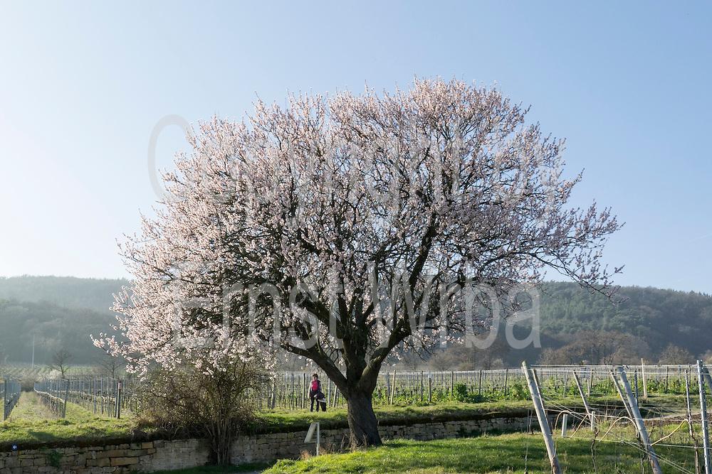 """Blühender Mandelbaum """"Jesuitenmandel"""" (gepflanzt 1975), Mandelblüte, Forst, Deutsche Weinstraße, Pfalz, Rheinland-Pfalz, Deutschland"""