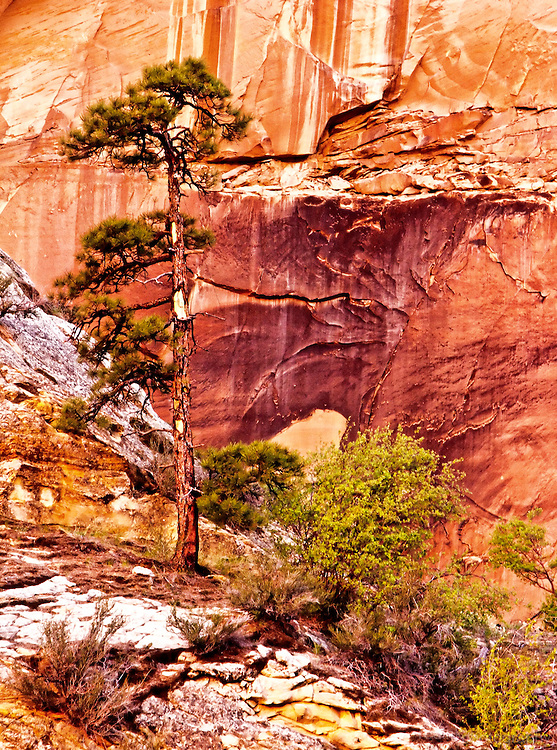 A small pinyon pine lines grows along the red sandstone canyon walls. Grand Staircase Escalante National Monument.