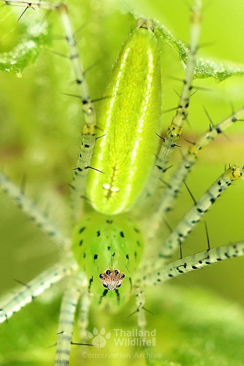 Bright green Lynx spider